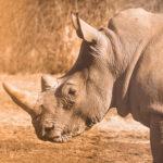 Nashorn Ende der Evolution